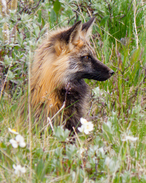 Red fox, Denali National Park