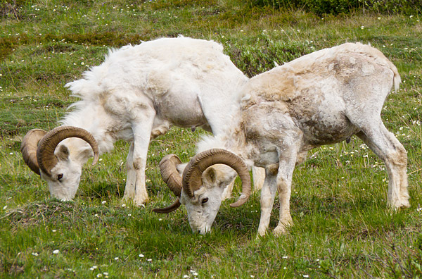 Dall sheep, Denali National Park