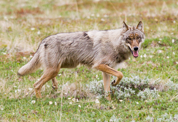 Gray wolf, Denali National Park