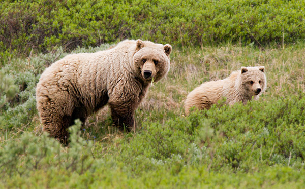 Mother Grizzly bear and her cub, Denali National Park