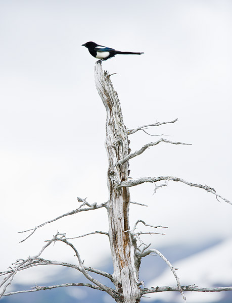 Black-billed Magpie at the Alaska Wildlife Conservation Center