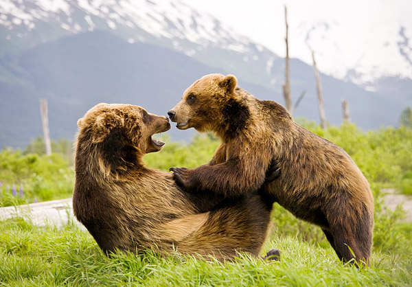 Two brown bears wrestle at the Alaska Wildlife Conservation Center