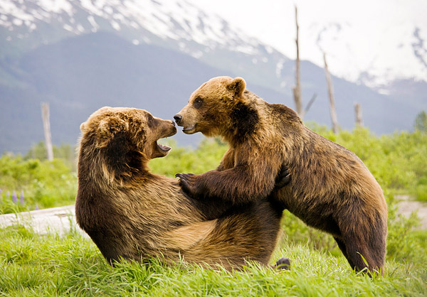 Two bears wrestling in Alaska.