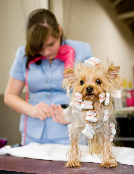 A Yorkshire Terrier getting pampered in the grooming area at the 134th Annual Westminster Kennel Club Dog Show at Madison Square Garden.