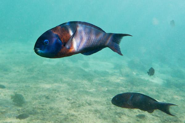 Saddle Wrasse fish