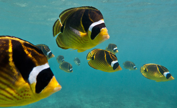 10 Raccoon Butterflyfish