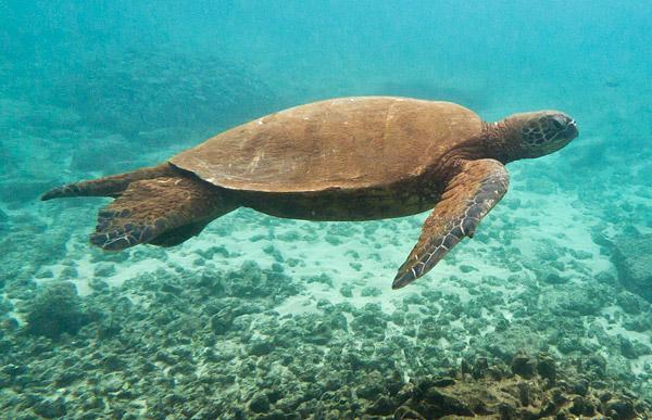 Sea turtle in Kauai