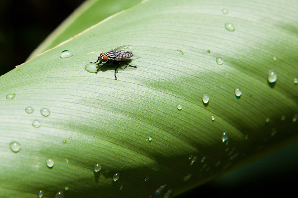 A fly drinking water off a leaf