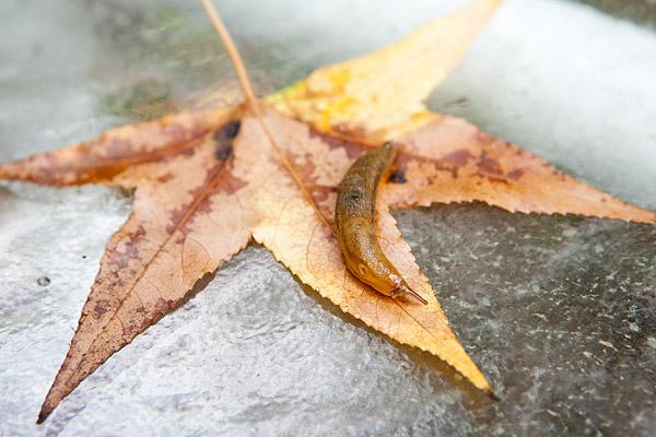 Slug on a leaf in Brooklyn