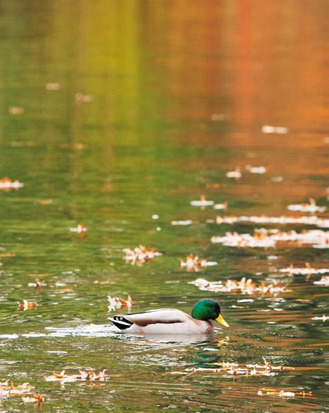 Mallard Duck in Prospect Park