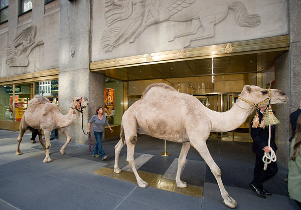 Camels outside Radio City