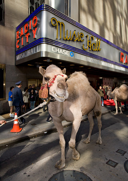 Camel outside Radio City Music Hall