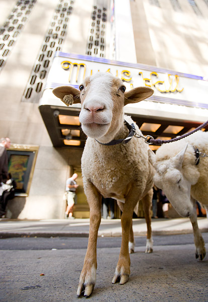 Sheep outside Radio City Music Hall