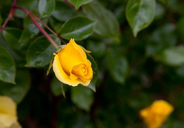 Bergen Street Community Garden roses