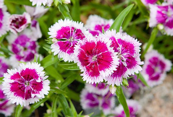 Flowers in New York's Bergen Street Community Garden