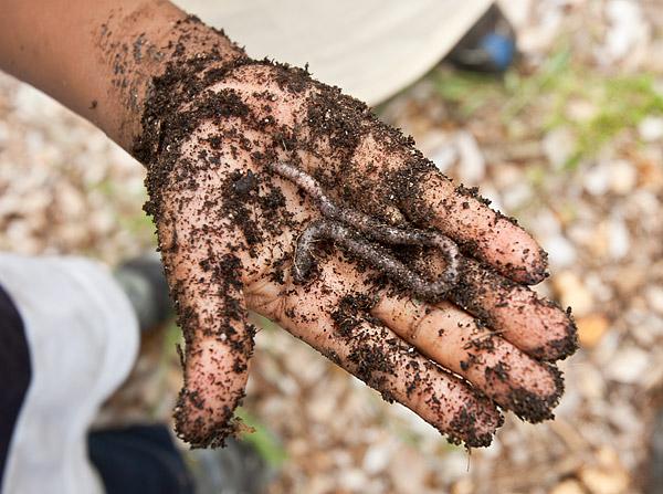Earthworm, Greene Acres Community Garden, New York