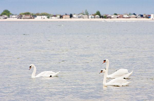 New York swans