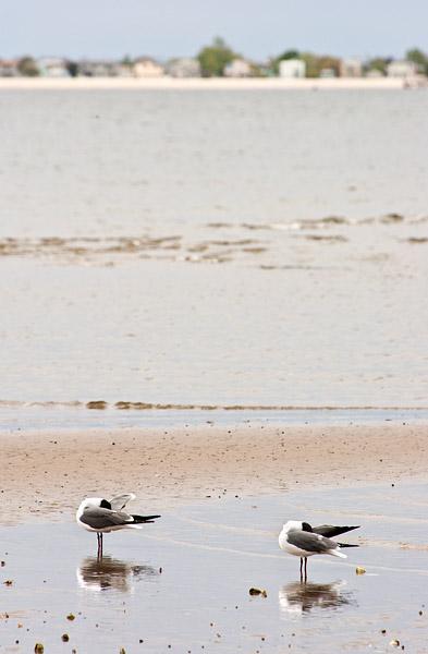 Seagulls at Plumb Beach