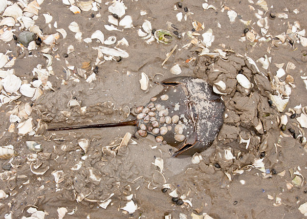 Horseshoe Crab, Plumb Beach, New York
