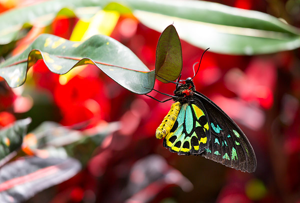 Cairns Birdwing butterfly at the Niagara Parks Butterfly Conservatory in Ontario, Canada