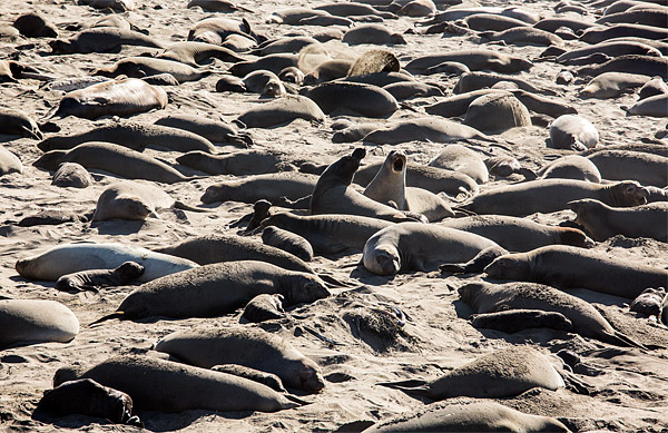 Elephant seals and their newborn pups crowd the beach in San Simeon, California