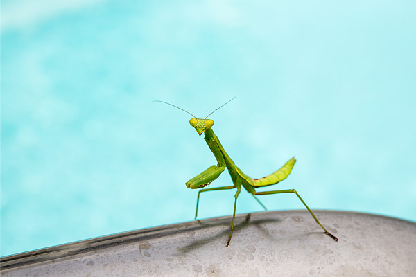 A praying mantis lounges by a swimming pool in North Carolina's Outer Banks