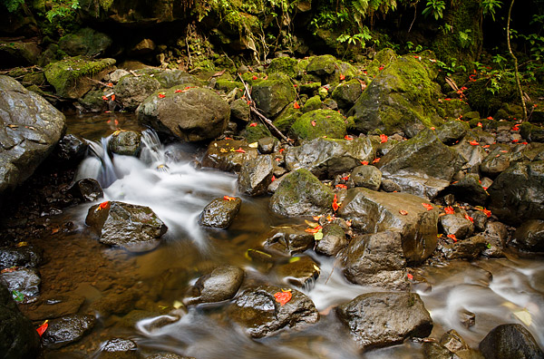 Road to Hana, Fallen Hibiscus flowers dot a stream along the Pipiwai Trail on Hawaii's island of Maui.