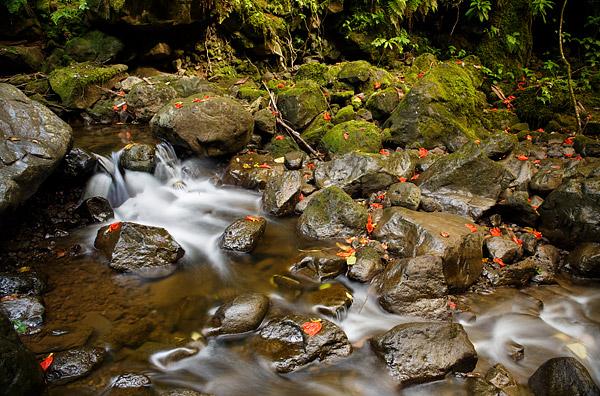 Road to Hana, Fallen Hibiscus flowers dot a stream along the Pipiwai Trail on Hawaii's island of Maui.