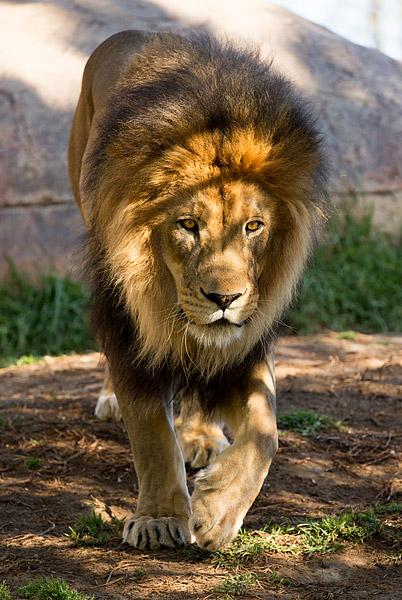 A lion roams his habitat at San Diego Zoo Safari Park in Southern California